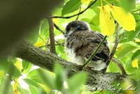 可愛い「アオバズク」の雛ちゃんに会えました♪ー在庫からー - ケンケン&ミントの鳥撮りLifeⅡ