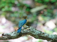 お山の水場探鳥記ⅩⅤオオルリ混浴の態OBI - シエロの野鳥観察記録