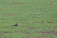 恵みの雨は?【ツバメチドリ・オジロトウネン・キアシシギ】 - 鳥観日和