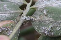 ゴイシシジミの幼虫観察 - 蝶超天国