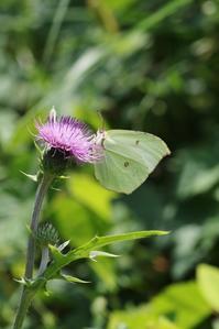 今年初のヤマキチョウの吸蜜観察 - 蝶超天国
