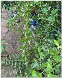 アスパラガス・スプレンゲリーの小さな花が可愛い。 - 小さな庭 2