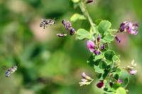アオスジハナバチ と 遊ぶ - 野山の住認たち Ⅲ