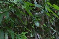 閻魔大王オニヤンマ(鬼蜻蜒)他 - 身近な自然を撮る
