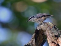 お山のゴジュウカラ(ベランダから(その6)) - トドの野鳥日記