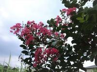 猿滑り=サルスベリ - だんご虫の花