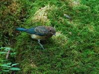 お山の水場探鳥記ⅩⅥ時にゴールデンなオオルリOBI - シエロの野鳥観察記録