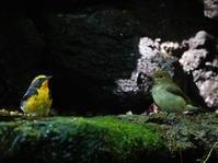 峠の水場探鳥記ⅩⅧキビタキ♂+♀OBI - シエロの野鳥観察記録
