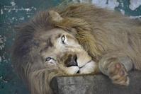 2020.8.8 東北サファリパーク☆ホワイトライオンのリオン君【White lion】 - 青空に浮かぶ月を眺めながら