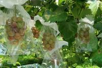 ゴルビーの様子 - ~葡萄と田舎時間~ 西田葡萄園のブログ