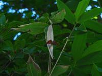 カンバ類自生地 - 飛騨山脈の自然