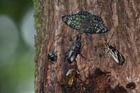 スミナガシと樹液に集まる者たちByヒナ - 仲良し夫婦DE生き物ブログ
