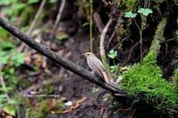 水場のオオルリ(幼鳥 雌) - azure 自然散策 ~自然・季節・野鳥~