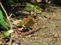 ミドリヒョウモン覚醒 - 秩父の蝶
