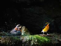 キビタキ劇場見栄の切り過ぎ!OBI - シエロの野鳥観察記録