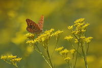 蝶と花シリーズ(その3)…ウラギンヒョウモン、イチモンジチョウ他 - 上州自然散策3