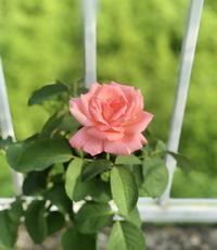 私の優先順位♡と折れたシュート( ;∀;)と薬剤散布♫ - 薪割りマコのバラの庭