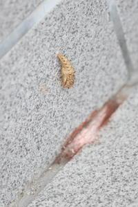 ツマグロヒョウモンの蛹part2 - 平凡な日々の中で