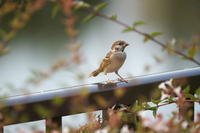 スズメのお宿 - 身近な自然を撮る