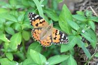 ヒメアカタテハ風立ちぬ - 蝶のいる風景blog