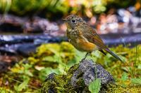 夏のお山のルリビタキ(瑠璃鶲)幼鳥 - 野鳥などの撮影記録