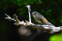 夏のお山のルリビタキ(瑠璃鶲)若鳥 - 野鳥などの撮影記録