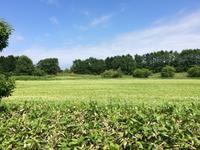 浜頓別のそば開花 - 北海道中央NOSAI 宗谷支所 非公式 ブログ