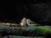 峠の水場水盤上の争いOBI - シエロの野鳥観察記録