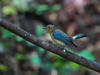 峠の水場にオオルリ♂若OBI - シエロの野鳥観察記録