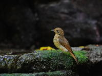 峠の水場のオオルリ♀若OBI - シエロの野鳥観察記録