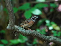 峠の水場にホオジロ♂も来た!OBI - シエロの野鳥観察記録