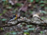 峠の水場キビタキ♂+♀OBI - シエロの野鳥観察記録