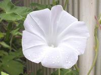 名残の朝顔とホテイアオイの花 - しらこばとWeblog