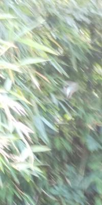アオスジアゲハどこにいるか分かるかな? - 虫のひとりごと