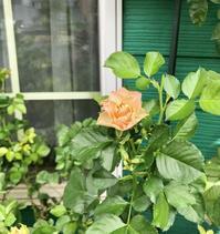 頭の上を通過した黒い物体(*´ω`*)と、咲いてきたクレマチス達♡ - 薪割りマコのバラの庭