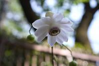 8月の薬草園☆レンゲショウマ - さんじゃらっと☆blog2