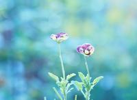夏に咲くviola - 静かに過ごす部屋