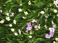 『梅花藻(バイカモ)と百日紅(サルスベリ)』 - 自然風の自然風だより