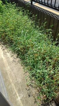 ちょこっと草取り - ウィズコロナのうちの庭の備忘録~Green's Garden~