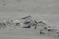 九十九里浜と大磯照ヶ崎海岸(8月5日、6日byうちの奥さん) - 週末バーダーのBirding記録