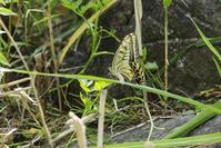 アゲハチョウ - 生きる。撮る。