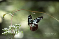 旅する蝶 アサギマダラ。 - MIRU'S PHOTO