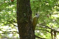 アオゲラ - 新 鳥さんと遊ぼう