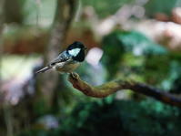 ヒガラSKY - シエロの野鳥観察記録