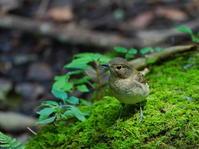 キビタキSKY - シエロの野鳥観察記録