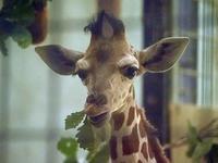 13年ぶりのキリンの赤ちゃん - 動物園放浪記