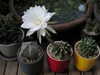 サボテン「サブデヌダータ」の花 - あるまじろの庭
