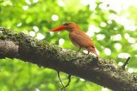 2020-153 アカショウビンの〆 - 近隣の野鳥を探して2