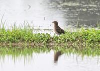 ツバメチドリその1/3 - くまさんの二人で鳥撮り