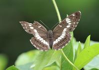 タテハチョウのびっくり事例その1 - 公園昆虫記